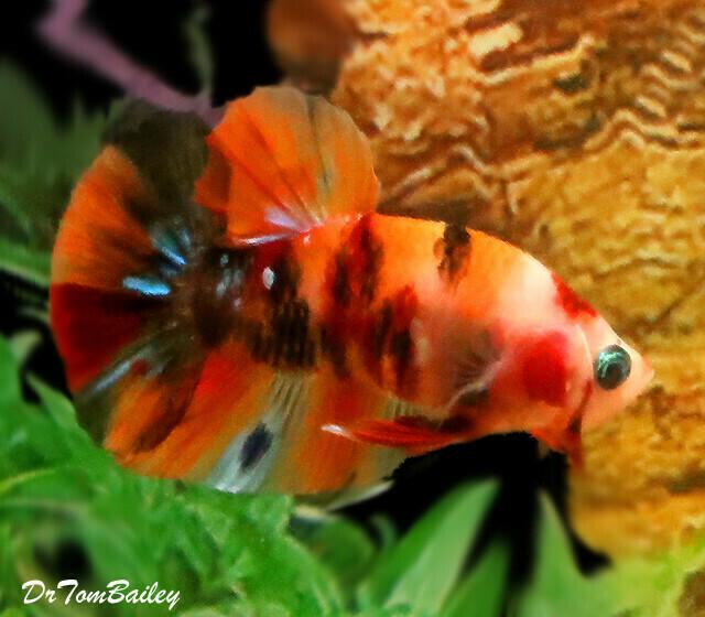 Premium MALE Koi Plakat Betta Fish