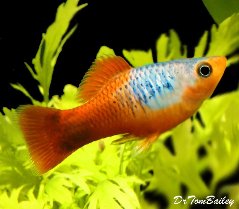 Premium Red Tail Blue Variatus Platy