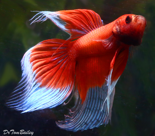 Premium MALE Butterfly Betta Fish