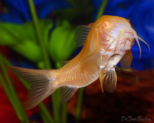Premium Albino Aeneus Corydoras Catfish