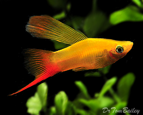 Premium Rare Assorted Hifin Swordtails