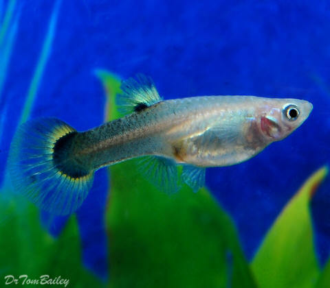 Bargain FEMALE Fancy Assorted Guppies