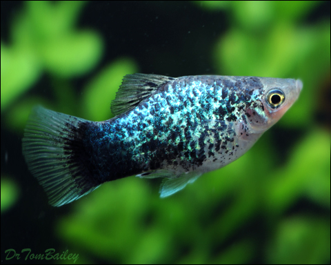 Premium Blue Spotted Platy
