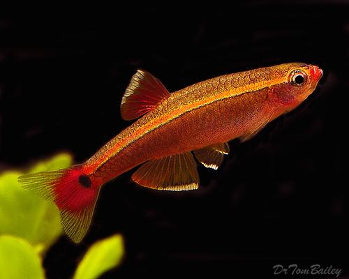 Premium White Cloud, Nano Fish