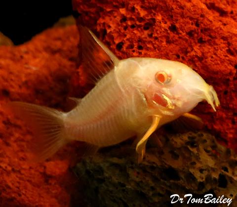 Premium Albino Corydoras Sterbai Catfish