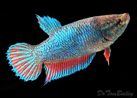 Premium FEMALE Unique Betta Fish
