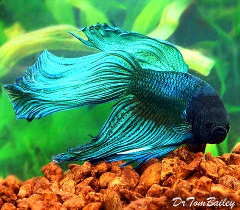 Premium MALE Blue-Green Betta Fish