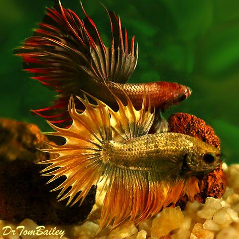 Premium MALE Rare Assorted Dragonscale Crowntail Betta Fish