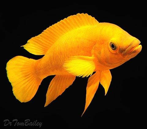 Premium Rare Lake Tanganyika Bright Yellow Leleupi Cichlid