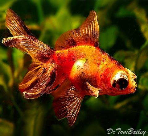 Premium Calico Telescope Goldfish