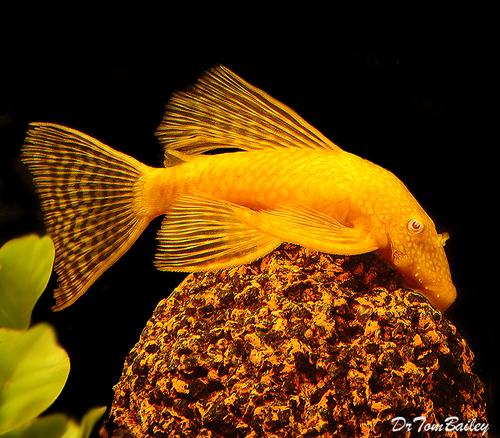 Premium Gold Longfin Pleco