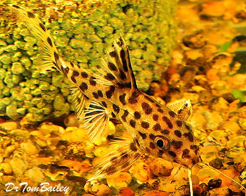 Premium Rare Leopard Catfish, Synodontis Leopardinus