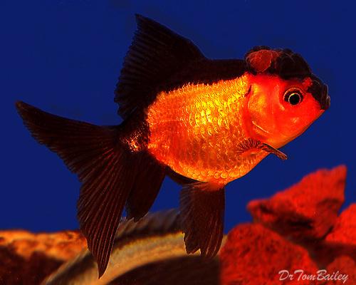 Premium Rare Red and Black Oranda Goldfish