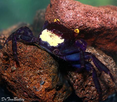 Premium WILD, Rare Blue Vampire Crab