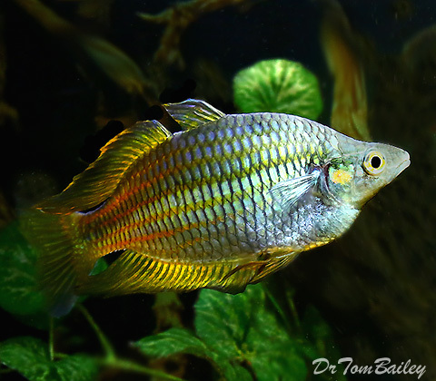 Premium Rare Golden Parkinson's Rainbowfish