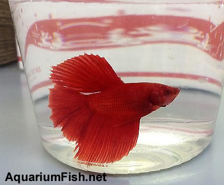 Premium MALE Red Halfmoon Betta Fish