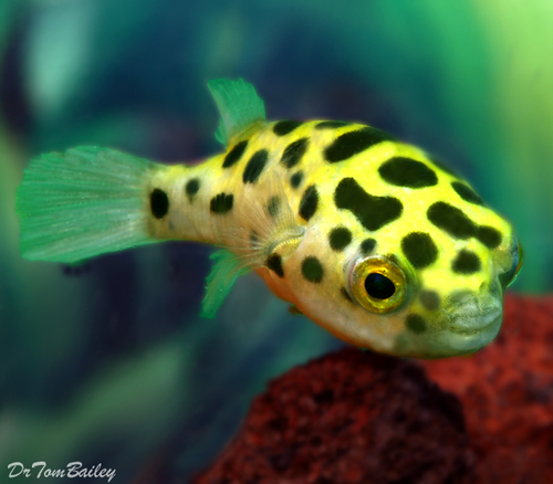 Premium WILD, Green Spotted Pufferfish