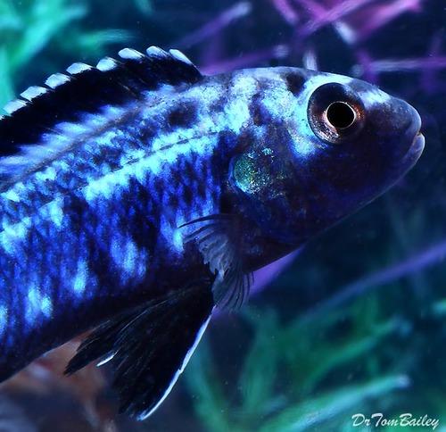 Premium New Electric Blue Melanochromis Johannii