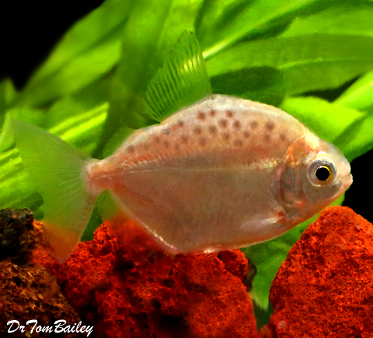 Premium Spotted Silver Dollar Fish