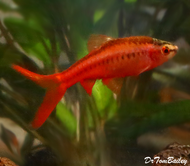 Premium Veiltail Cherry Barb, Nano Fish
