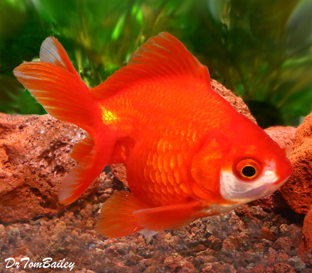 Premium Short-Tail Red Ryukin Goldfish