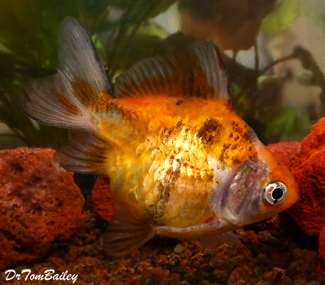 Premium Short-Tail Calico Ryukin Goldfish