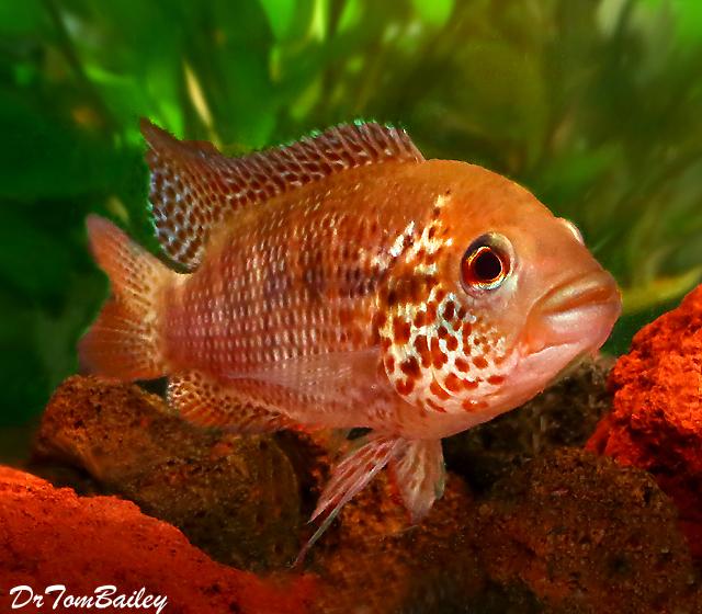 Premium New Rare, Red Tiger Motaguensis Cichlid