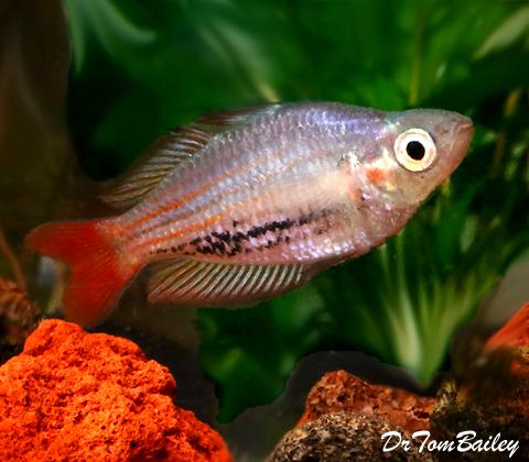 Premium Rare MacCullochi Rainbowfish