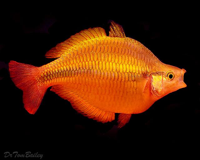 Premium Lake Tebera Yellow Rainbowfish