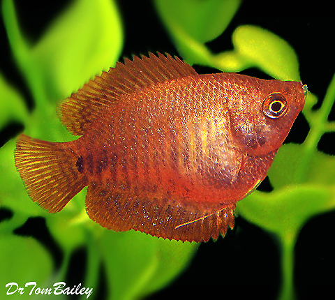 Premium FEMALE Fire Red Dwarf Gourami