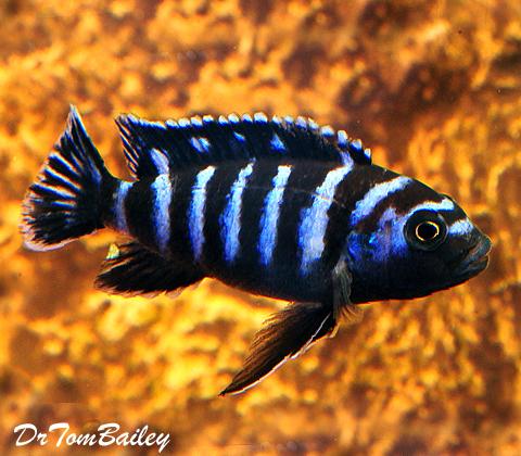 Premium Demasoni Dwarf Mbuna Cichlid from Lake Malawi