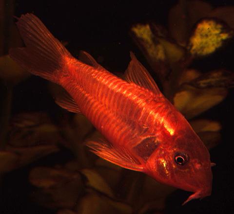 Premium Red Neon Cory Catfish