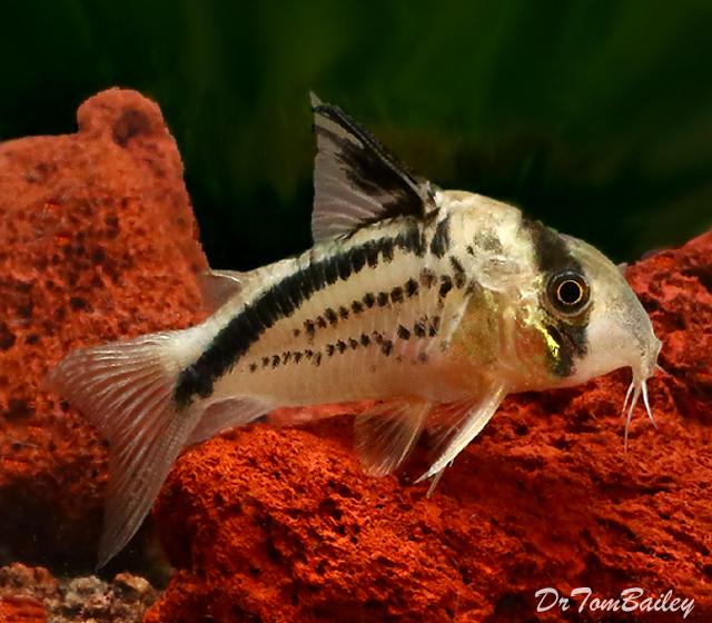 Premium WILD, New and Rare Loxozonus Corydoras Catfish