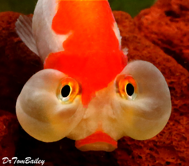 Premium Red & White Bubble-Eye Goldfish