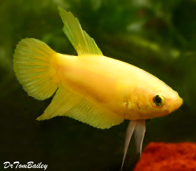 Premium FEMALE Yellow Betta Fish