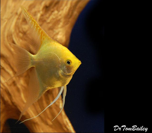 Premium Gold Angelfish