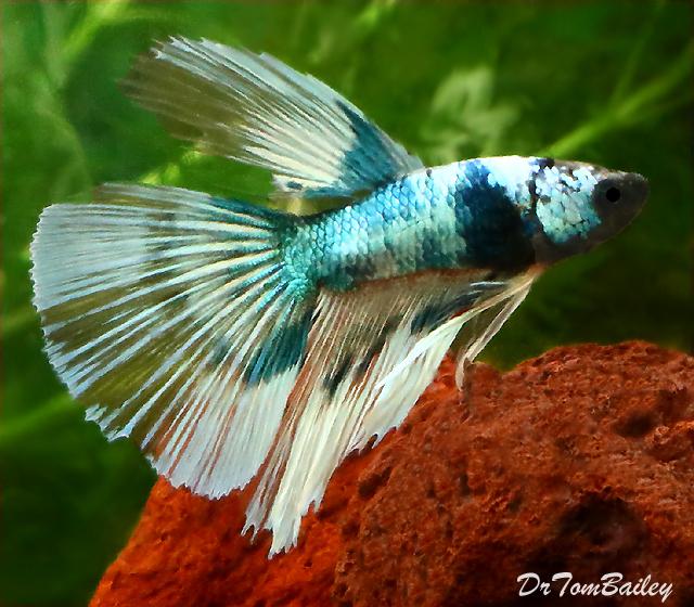 Premium MALE Butterfly Halfmoon Betta Fish