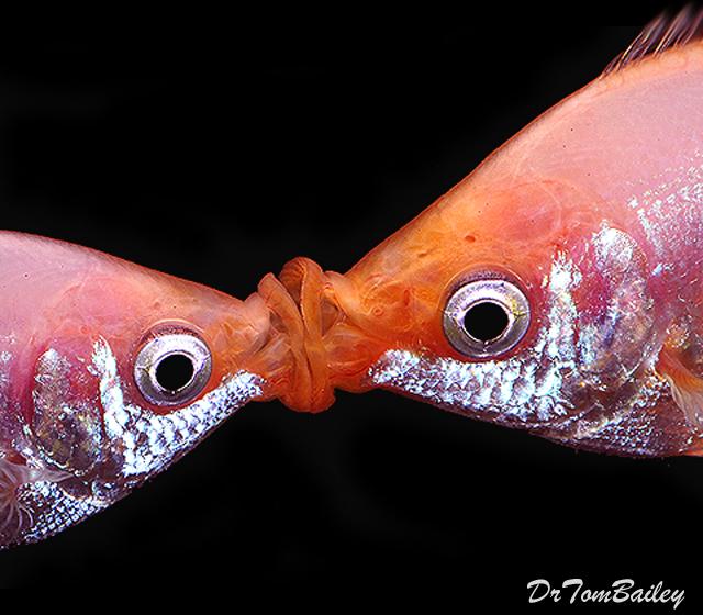 Premium Pink Kissing Fish