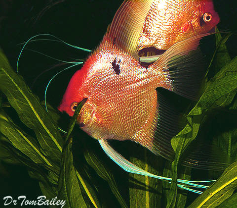 Premium Gold Marbled Angelfish