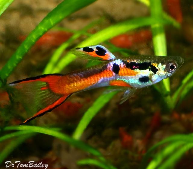 Premium MALE Assorted Endler's Livebearer, Nano Fish