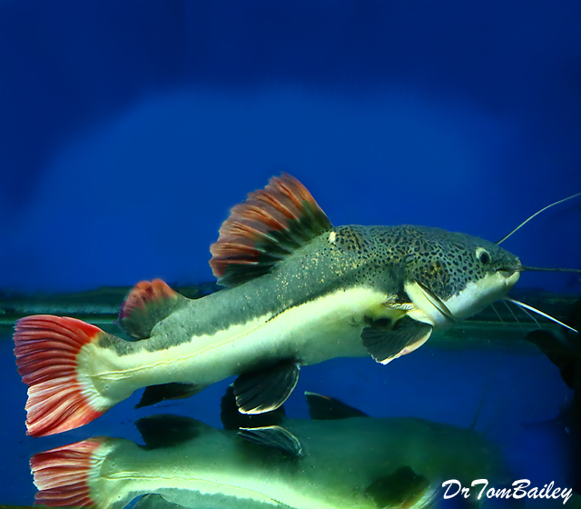 Premium Rare South American Redtail Catfish, can grow to be very large.