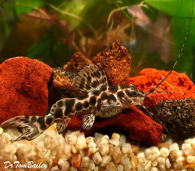 Premium WILD, Leopard Achara Catfish