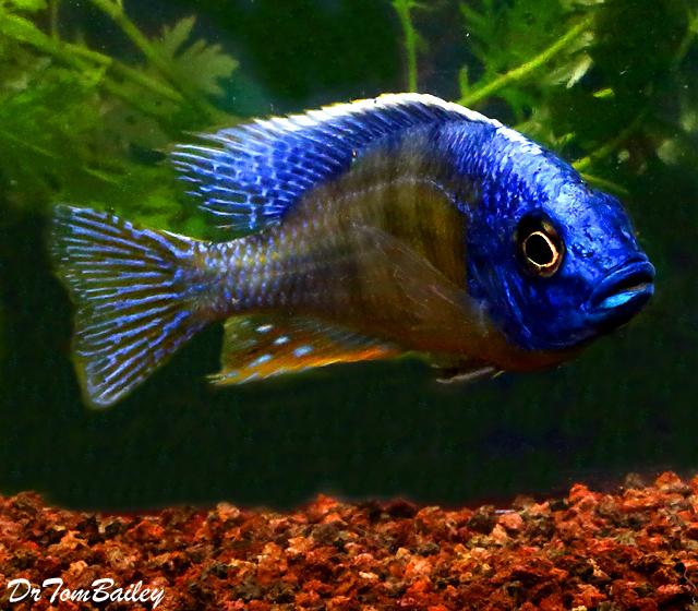 Premium Lake Malawi Taiwan Reef Haplo Cichlid
