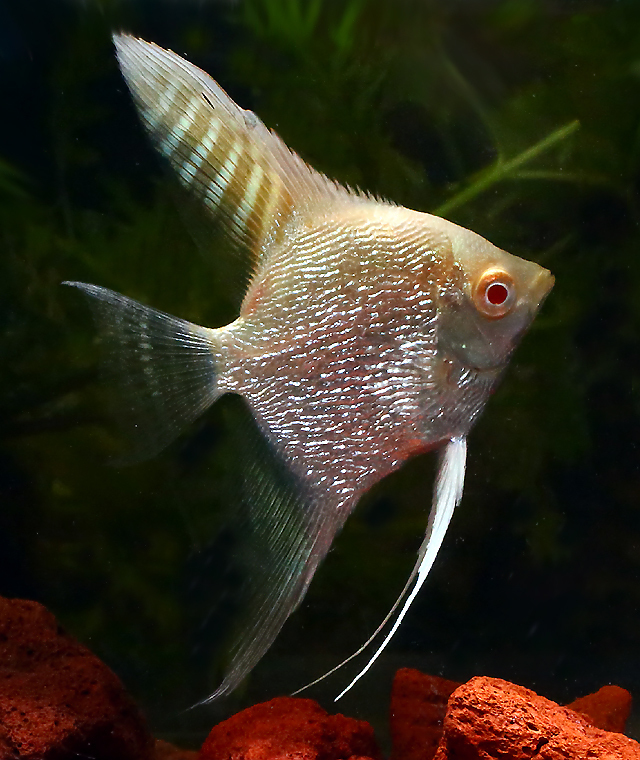 Premium Albino Pearlscale Angelfish