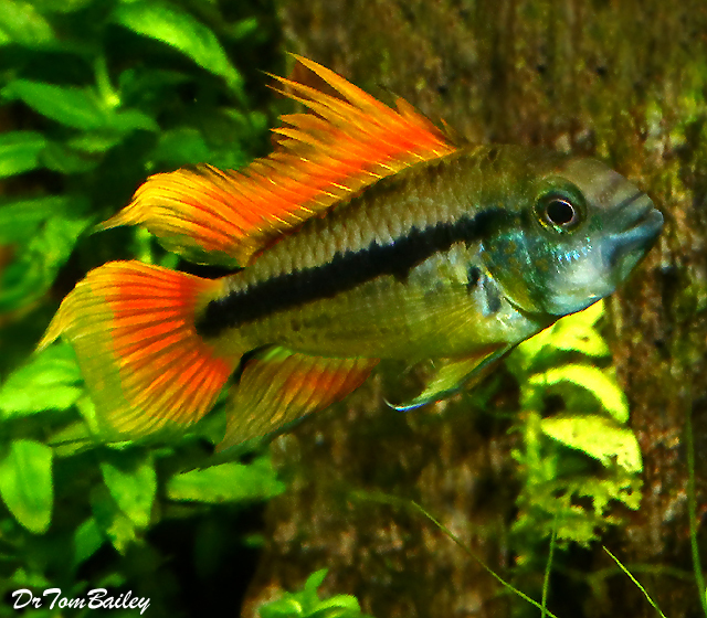 Premium Cockatoo Dwarf Apistogramma, Orange Flash