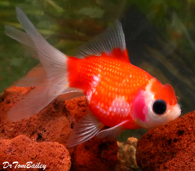 Premium Rare Assorted Crown Pearlscale Goldfish