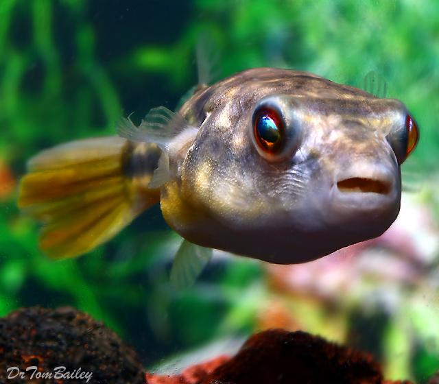 Premium Freshwater Fahaka Pufferfish