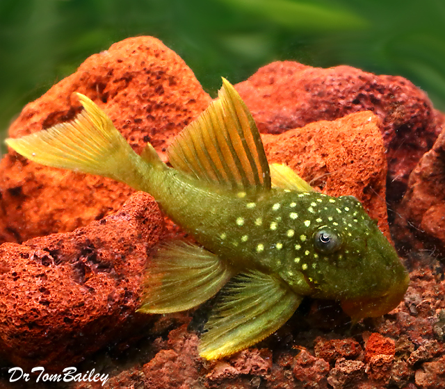 Premium WILD, Rare New, Green Phantom Pleco