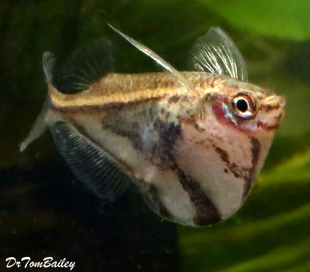 Premium Marbled Hatchetfish