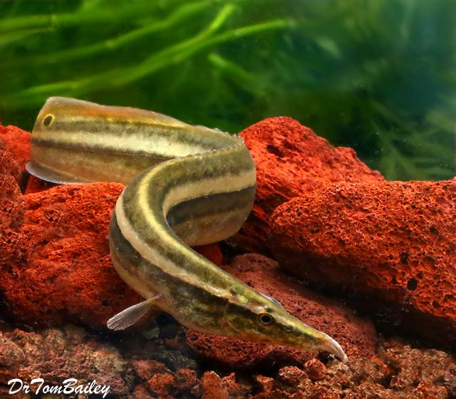 Premium WILD, Rare One-Stripe Eel